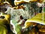 Karibik Anemonen-Actiniaria-sea anemone