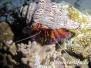 Indik Krustentiere-Crustacea-Crustaceans