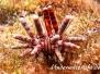 Karibik Stachelhäuter-Echinodermata-Echinoderms