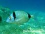 Mittelmeer Fische-Pisces-fish