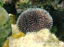 Mittelmeer Stachelhäuter-Echinodermata-Echinodermsr