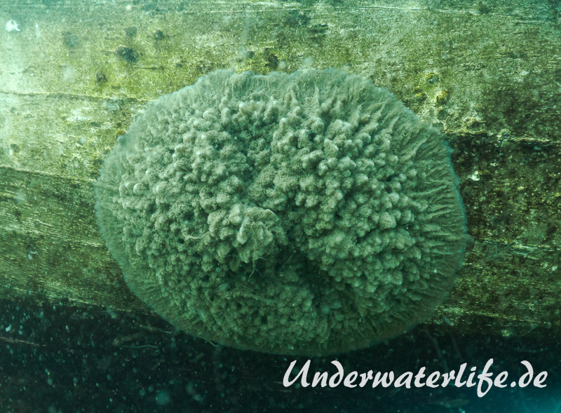 Susswasserschwamm-Spongillidae-spec_adult-Nordhausen-2016-001