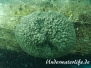 Europa Süßwasser Süßwasserschwämme-Spongillidae-freshwater sponges