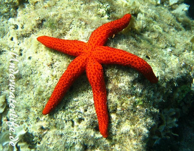 Roter Seestern-Dubrovnik-2015-001