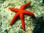 Mittelmeer Wirbellose-Invertebrata-Invertebrates