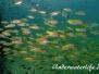 Indopazifik Fisch-Pisces-fish