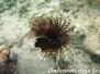 Indik Feuerfische-Pteroinae-Lionfishes
