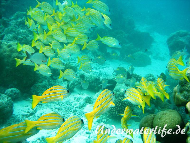 Blaustreifen-Schnapper_adult-Malediven-2013-06