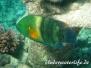 Indik Lippfische-Labridae-Wrasses