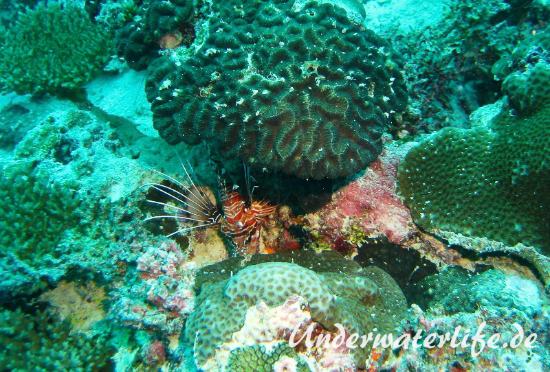 Antennen-Feuerfisch_adult-Malediven-2013-01