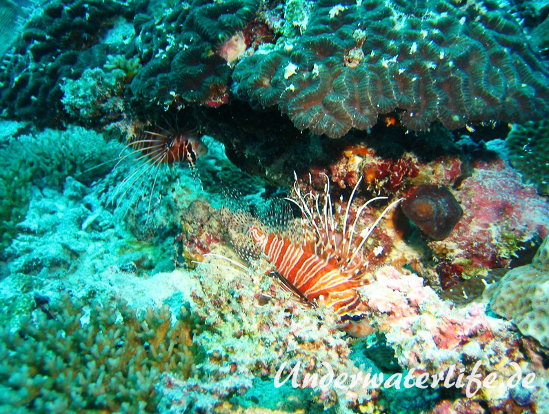 Antennen-Feuerfisch_adult-Malediven-2013-02