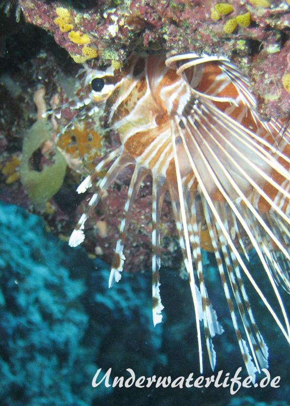Antennen-Feuerfisch_adult-Malediven-2013-03