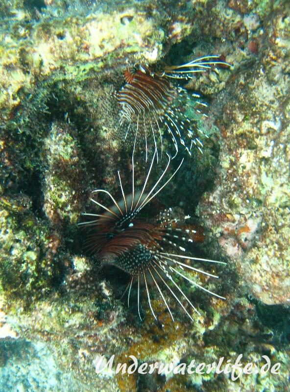 Antennen-Feuerfisch_adult-Malediven-2013-04