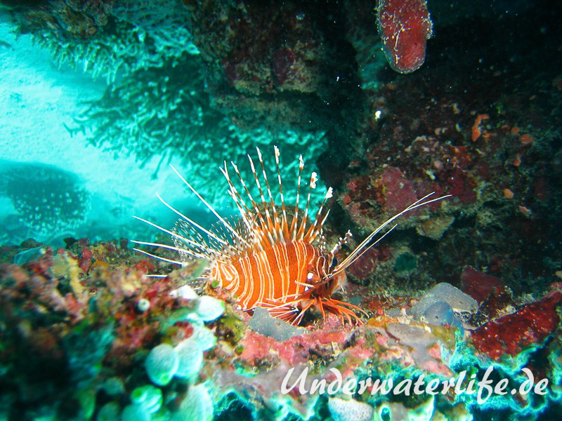Antennen-Feuerfisch_adult-Malediven-2013-05