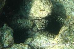 Antillen-Diadem-Seeigel_adult-Karibik-2014-004