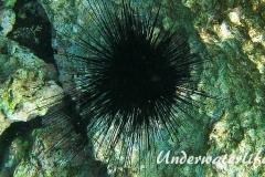Antillen-Diadem-Seeigel_adult-Karibik-2014-011