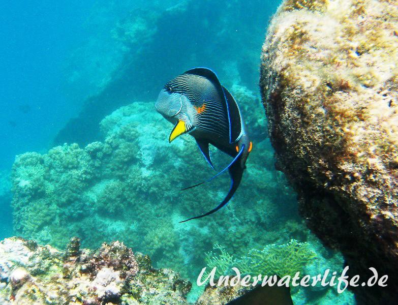 Arabischer Doktorfisch_adult-Marsa alam-2012-1
