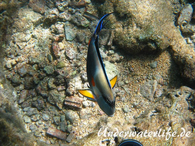 Arabischer Doktorfisch_adult-Marsa alam-2012-2