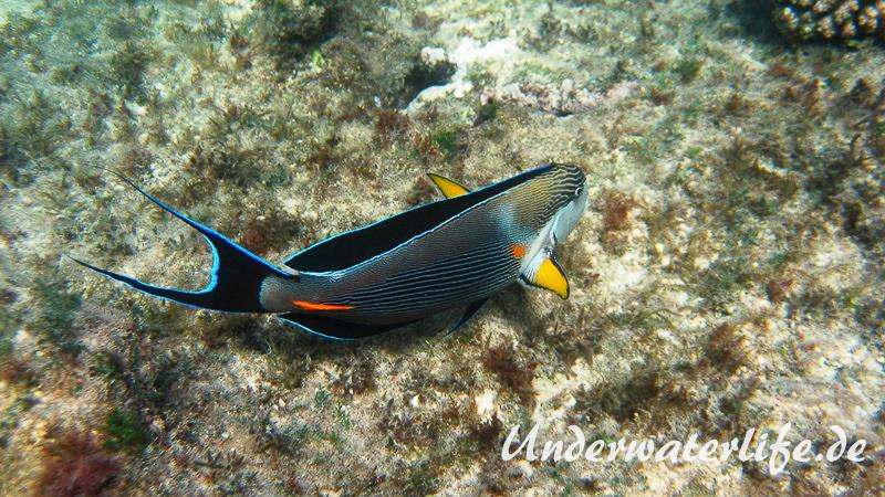 Arabischer Doktorfisch_adult-Marsa alam-2012-3
