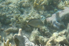Arabischer Doktorfisch_juvenil-Marsa alam-2012-2