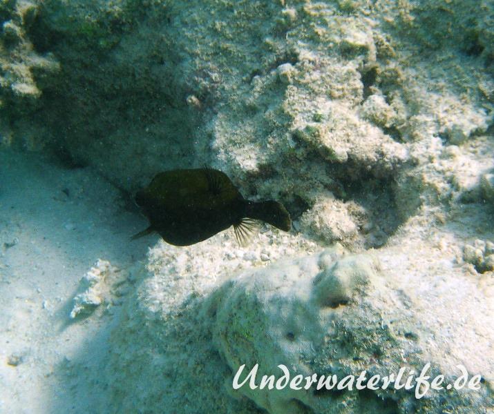 Arabischer Kofferfisch-Marsa alam-2012-1