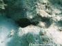 Arabischer Kofferfisch (Ostracion cyanurus)