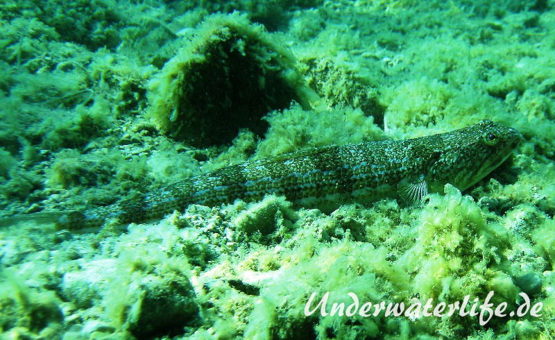 Atlantischer-Eidechsenfisch-Dubrovnik-2015-01