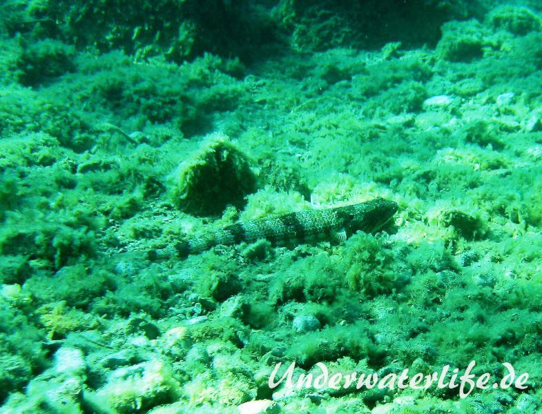 Atlantischer-Eidechsenfisch-Dubrovnik-2015-03