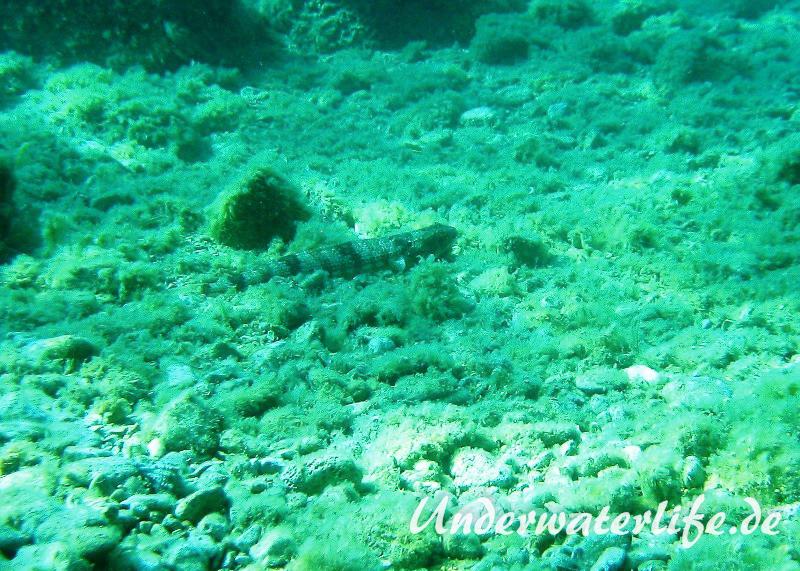 Atlantischer-Eidechsenfisch-Dubrovnik-2015-04