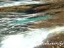 Atlantischer Hornhecht (Strongylura marina)