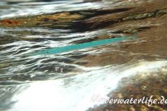 Atlantischer Hornhecht_adult-Karibik-2014-01