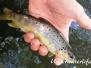 Europa Süßwasser Lachsartige-Salmonidae-salmons