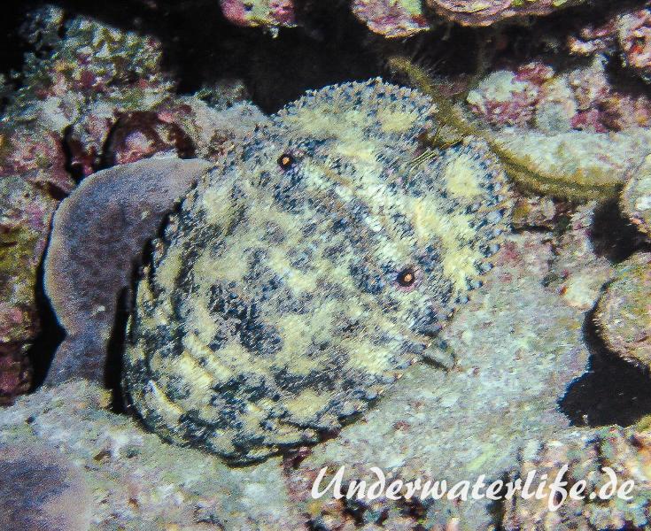 Baertiger Baerenkrebs_Parribacus antarcticus_adult-Malediven-2013-003