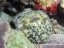 Bärtiger Bärenkrebs (Parribacus antarcticus)