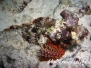 Bärtiger Drachenkopf (Scorpaenopsis barbatus) Indik