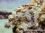 Indopazifik Skorpionfische-Scorpaenidae-Scorpionfishes