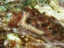 Bart-Feuerwurm (Hermodice carunculata) Karibik