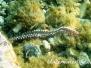 Mittelmeer Würmer-Vermes-worms