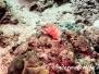 Baskenmützen-Zackenbarsch (Epinephelus fasciatus) Indopazifik