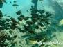 Indopazifik Beilbauchfische-Pempheridae-Sweepers
