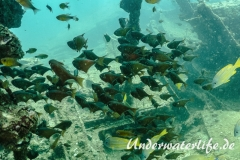 Beilbauchfisch_Pempheris molucca_adult-Thailand-2017-001