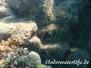 Besenschwans-Lippfisch (Cheilinus lunulatus)