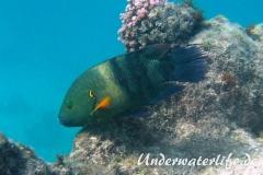 Besenschwans-Lippfisch-Marsa alam-2012-2