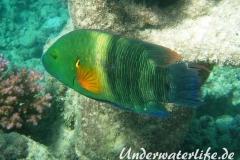 Besenschwans-Lippfisch-Marsa alam-2012-3