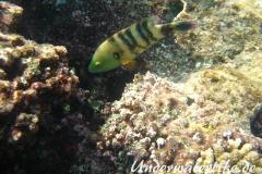 Besenschwans-Lippfisch-Marsa alam-2012-4