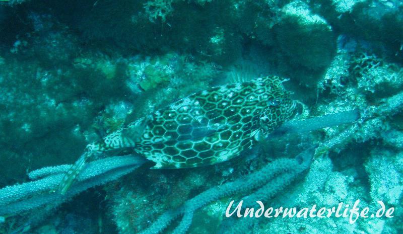 Bienenwaben-Kofferfisch_adult-Karibik-2014-02