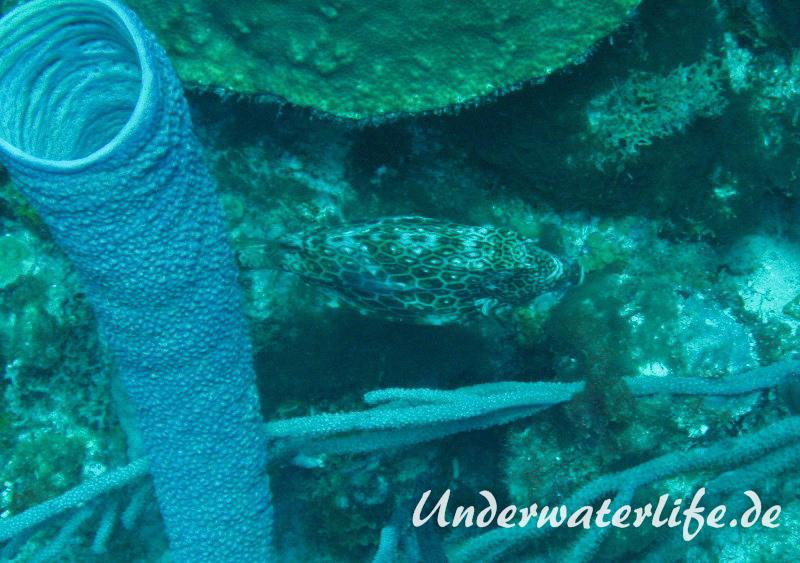 Bienenwaben-Kofferfisch_adult-Karibik-2014-03