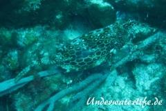 Bienenwaben-Kofferfisch_adult-Karibik-2014-01