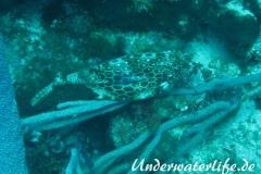 Bienenwaben-Kofferfisch_adult-Karibik-2014-04
