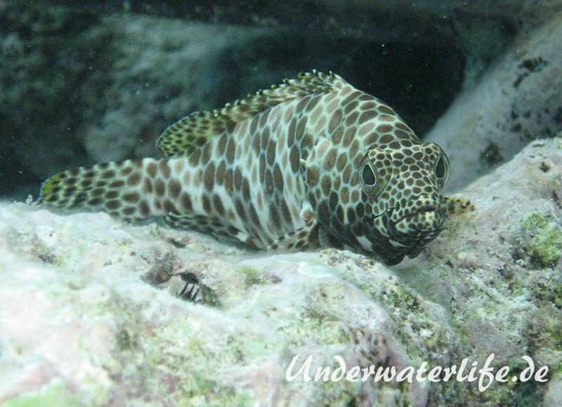 Bienenwaben-Zackenbarsch_adult-Malediven-2013-01